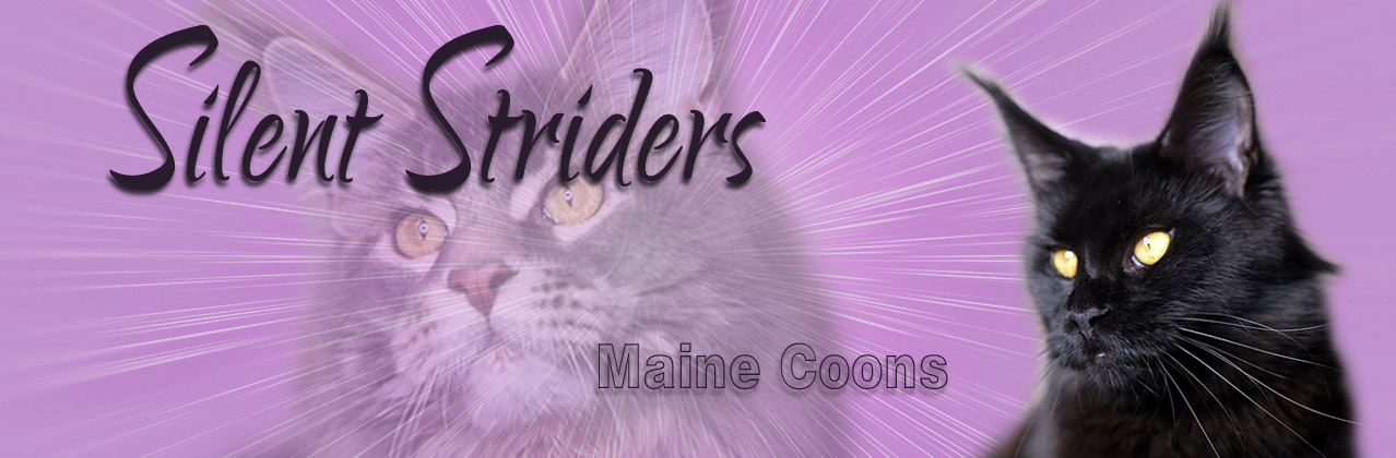 Silent Striders Maine Coons